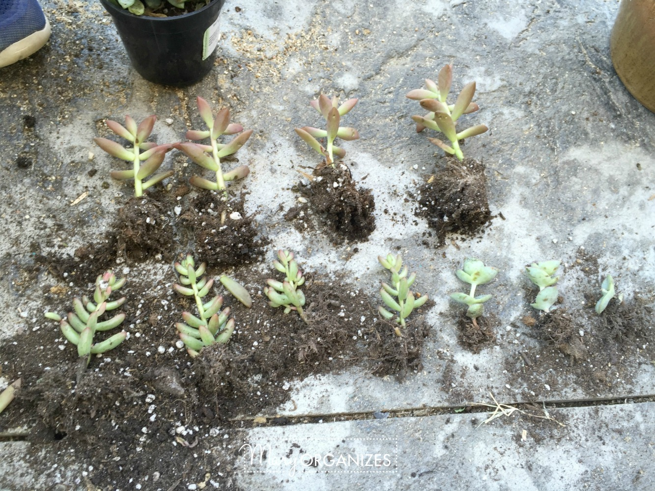 How To Re-Plant Succulents 5